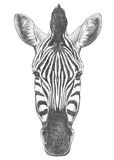 Portrait of Zebra. Hand drawn illustration Royalty Free Stock Photo