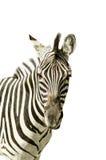 Portrait of zebra Stock Photos