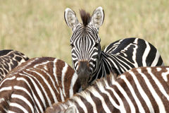 A portrait of zebra in its herd Royalty Free Stock Photos