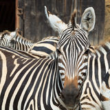 Portrait of a zebra in the jungle Royalty Free Stock Image