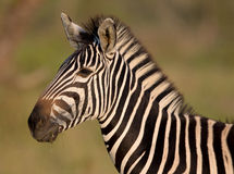 Portrait of a Zebra Stock Photos