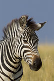 Portrait of a Zebra, Maasai Mara, Kenya Stock Photos