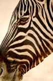 Portrait Zebra Stock Photos