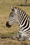 Portrait of a Zebra, Ngorongoro Crater, Tanzania Stock Photo