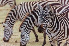 Portrait of a zebra. Photo taken during the safari in Serengetti National park. Tanzania stock photo