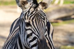Portrait of a zebra, scientific name Equus zebra from the front view stock photo