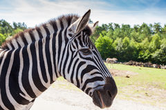 Portrait of a zebra Royalty Free Stock Images