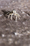 Portrait of a zebra spider Stock Image