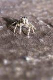 Portrait of a zebra spider Stock Image