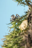 Portrait of a zebra spider Royalty Free Stock Photo