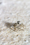 Portrait of a zebra spider Royalty Free Stock Photography