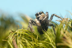 Portrait of a zebra spider Royalty Free Stock Photos