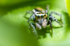 Portrait of a zebra spider Royalty Free Stock Image