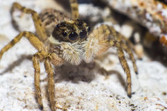 Portrait of a zebra spider Stock Photo
