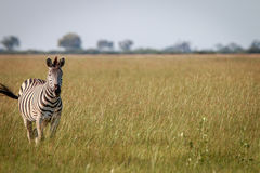 A portrait of a Zebra standing in the grass. Stock Image