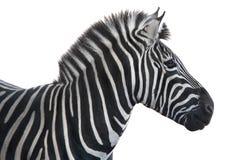 Portrait zebra Stock Photos