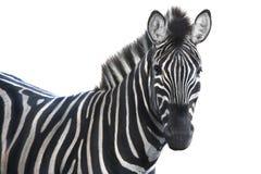 Portrait zebra Royalty Free Stock Image