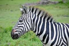 Portrait of a zebra. In the wild Royalty Free Stock Image