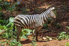 Portrait of zebra in the zoo Royalty Free Stock Photo