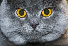 Portraitabschluß der Katze oben Lizenzfreies Stockfoto