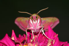 Portraitbasisrecheneinheit (Deilephila elpenor) Stockfotografie