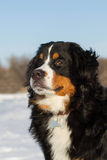 Portraite of Bernese dog Stock Photo