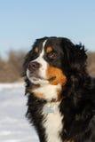 Portraite Bernese pies zdjęcie stock