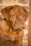 Portraite del cucciolo del cane del Bordeaux Fotografie Stock