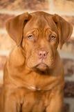 Portraite del cucciolo del cane del Bordeaux Immagine Stock Libera da Diritti