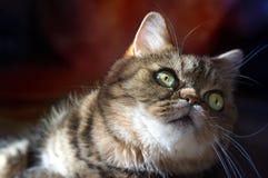 Portraite för strimmig kattkatt Fotografering för Bildbyråer
