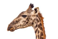 A portraite of giraffe on the savanna in Tanzania stock images