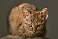 Portrait of Kitten. Portraite of Little Outbred Kitten over  Grey Background Stock Photography