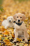 Portraithund - goldener Apportierhund stockfotografie