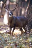 Portraitof a whitetail buck. Beautiful 8 point buck poses for portrait stock photos
