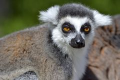 Portraitring-tailed Lemur stockbild
