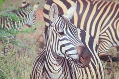 Portraits of African zebras. Close up. Tsavo National Park royalty free stock photography