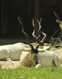 Portraits of animals - an addax antelope at a ZOO stock photography