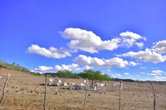Portraits of the Brazil.  Alagoas. A herd of cattle, grazing in the arid land of the Brazilian sertão Royalty Free Stock Images