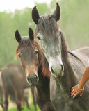Portraits of couple young mares Stock Images