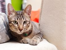Portraits of a cute short hair young little home pet cat. Kitty kitten resting peacefully in bedroom selective focus blur background stock photo