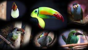 Portraits des toucans, collage - vidéo 4K banque de vidéos