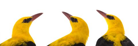 Portraits Eurasian Golden Oriole. Oriolus oriolus isolated on a white background Stock Photography
