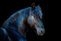 Portraits of horses. The portraits of horses on a black background without ammunition royalty free stock images