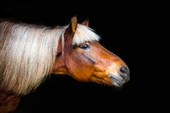 Portraits of horses. The portraits of horses on a black background without ammunition royalty free stock photo