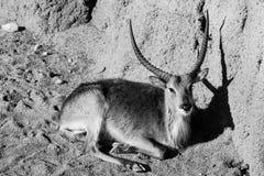 Portraits noirs et blancs d'animaux de gazelle images stock