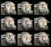 Portraits Of Chewing Sheep Stock Images