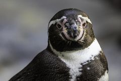 Penguin in the Hamburg zoo, Germany in spring 2019 stock photography