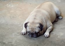 Portraits photo of a lovely white fat cute pug dog. Laying flat on concrete garage floor making sad and lonesome face under warm natural sunlight, shallow depth royalty free stock images