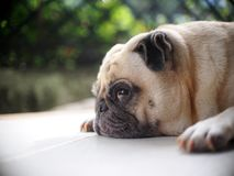 Portraits photo of a lovely white fat cute pug dog. Laying flat home garden floor making sad and lonesome face under natural sunlight outdoor shallow depth of stock photography