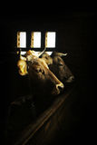 Portraits of tho cows in the barn. Two cows in the dark barn near the dim light window Stock Photo